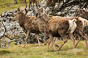 A group of red deer at Strathdearn in the Scottish Highlands. The group was part of a larger herd on the mountain slopes.