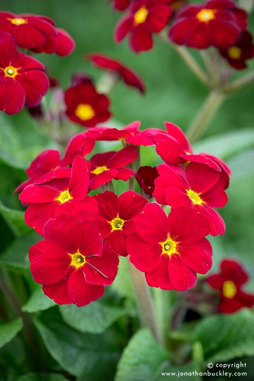 Polyanthus 'Stella Regal Red'  syn. 'Stella Scarlet Pimpernel' F1