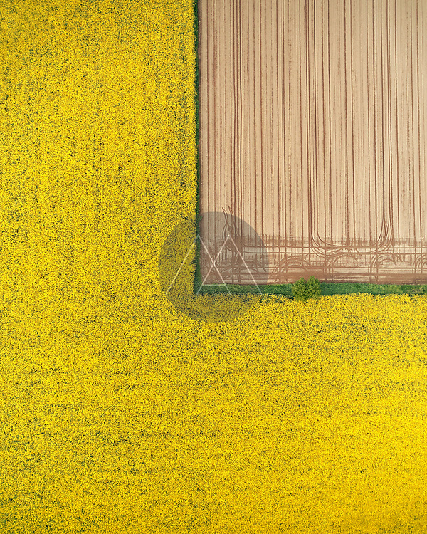 Aerial view of a yellow canola field in bloom beside a dusty plowed field in the Po Valley, Lombardy, Italy.