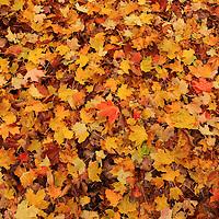 """Rain Drops on Autumn""<br /> <br /> A carpet of fallen leaves in the rain!!<br /> <br /> Fall Foliage by Rachel Cohen"