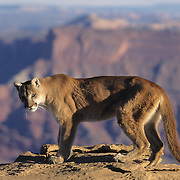Mountain Lion or Cougar (Felis concolor) in the canyonlands of southern Utah's red rock country. Captive Animal