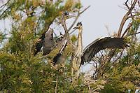 Grey heron chicks (Ardea cinerea) on nest, Pont du Gau, Camargue, France