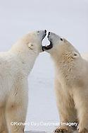 01874-106.03 Polar Bears (Ursus maritimus) sparring, Churchill, MB