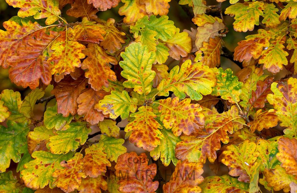Oak leaves in Autumn in England