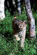Lynx walking straight toward observer, making eye contact,  (This animal was born and raised in captivity, photographed in an outdoor setting in Idaho.) © David A. Ponton