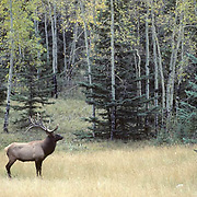 Elk, bull in fall rut season in meadow of Canadian Rockies.