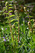 Early Spring sprouting ferns, England
