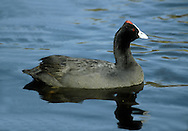 Red-knobbed Coot - Fulica cristata