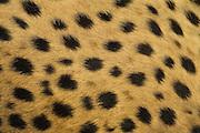 Cheetah<br /> Acinonyx jubatus<br /> Spot patterns<br /> Cheetah Conservation Fund, Namibia<br /> *Captive