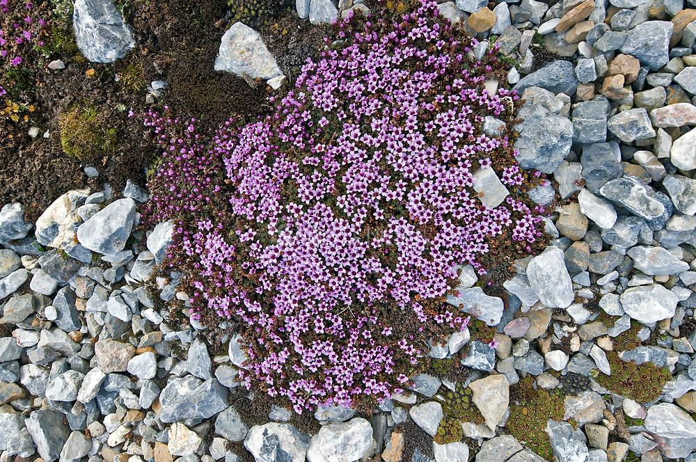 Purple Mountain Saxifrage (Saxifraga oppositifolia) at Hornsund, Spitsbergen in June.