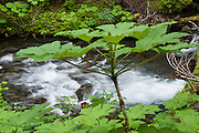A stream of water rushes by Devils Club (Oplopanax horridus, Araliaceae) plants in Buckhorn Wilderness, Olympic National Forest, Washington, on Big Quilcene Trail #833.1 near Marmot Pass. Washington, USA.