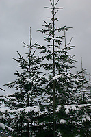 Snow covered Christmas trees growing in County Wicklow, Ireland