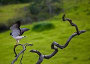 Jeceaba_MG, Brasil...Ave de rapina no galho de uma arvore em Jeceaba, Minas Gerais...Birds of prey on the branch tree in Jeceaba, Minas Gerais...Foto: JOAO MARCOS ROSA / NITRO..