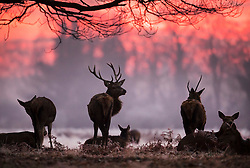 © Licensed to London News Pictures. 19/01/2017. London, UK. Deer move amongst frosty bracken in Bushy Park at first light. Temperatures are not expected to rise above 1 degree in the south east today. Photo credit: Peter Macdiarmid/LNP