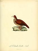Colombi-caille from the Book Histoire naturelle des oiseaux d'Afrique [Natural History of birds of Africa] Volume 6, by Le Vaillant, Francois, 1753-1824; Publish in Paris by Chez J.J. Fuchs, libraire 1808