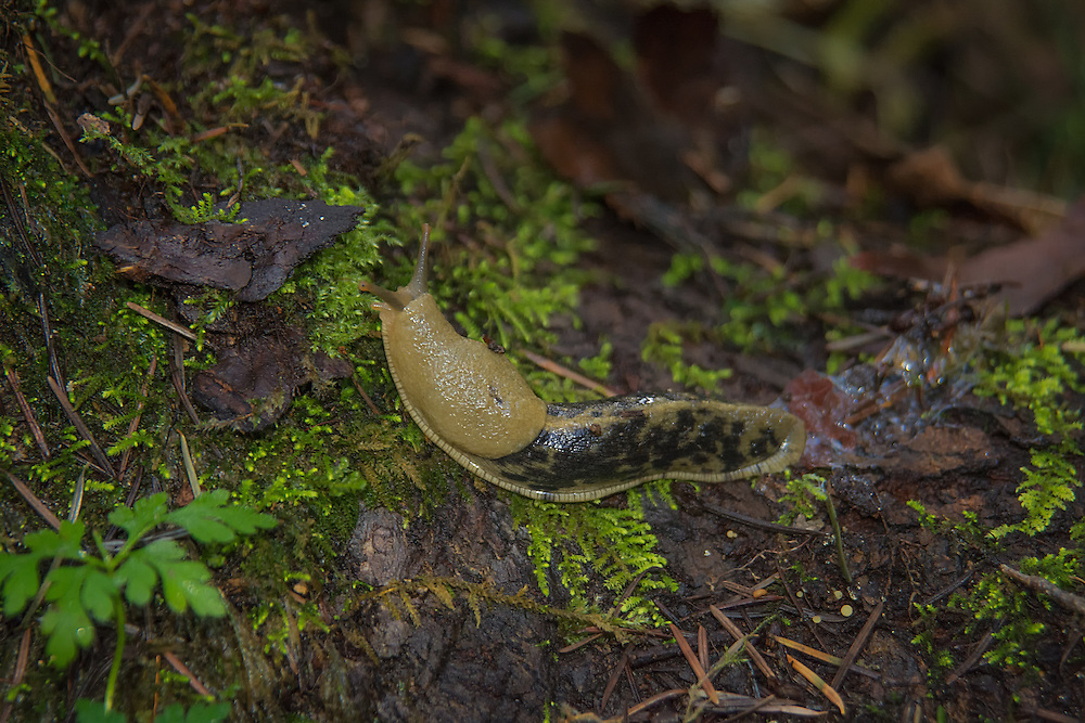 Working alongside mushrooms and other fungi, banana slugs are detritivores that help turn decaying matter into soil humus. They eat leaves, dead plant materials, moss, fungi, and animal droppings and help in the movement of nutrients throughout the forest and prefer mushrooms over other foods, much to the detriment of human mushroom foragers. Because slugs do not have teeth, food is broken down using its ribbon-like radula, which works like a millstone to grind food into smaller and smaller particles that are then ingested. This one was found in a disturbed suburban park in Kent, Washington.