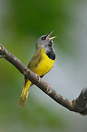 Mourning Warbler - Oporornis philadelphia - male