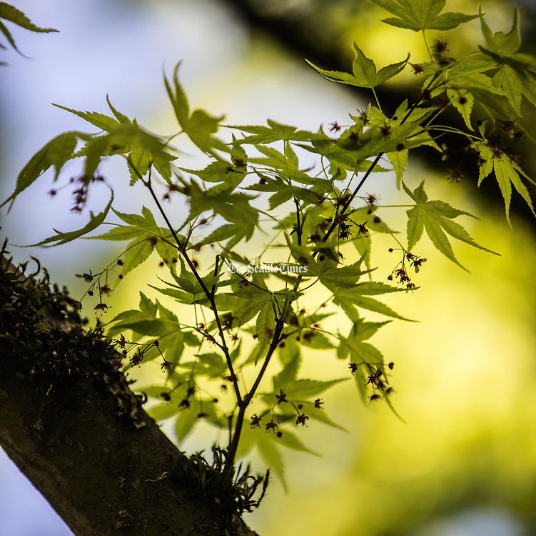 Maples are already in full flower at the Seattle Japanese Garden. (Steve Ringman / The Seattle Times)