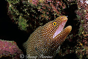 whitemouth moray eel,<br /> Gymnothorax meleagris,<br /> Kona, Hawaii, USA ( Pacific )