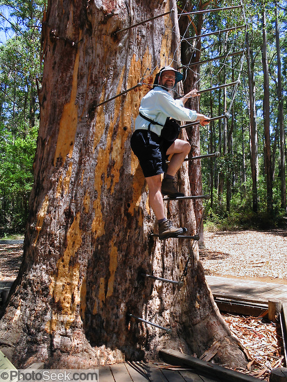 "Tom climbs rebar rungs of the public Diamond Tree, a 51-meter tall Karri (Eucalyptus diversicolor) mounted with a fire lookout. Drive 10 km south of Manjimup on the South Western Highway, in Western Australia. Growing up to 90 meters, Karri trees stand amongst the tallest species on earth. Published in ""Light Travel: Photography on the Go"" book by Tom Dempsey 2009, 2010. For licensing options, please inquire."