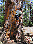 """Tom climbs rebar rungs of the public Diamond Tree, a 51-meter tall Karri (Eucalyptus diversicolor) mounted with a fire lookout. Drive 10 km south of Manjimup on the South Western Highway, in Western Australia. Growing up to 90 meters, Karri trees stand amongst the tallest species on earth. Published in """"Light Travel: Photography on the Go"""" book by Tom Dempsey 2009, 2010. For licensing options, please inquire."""