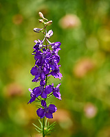 Larkspur/Delphinium. Image taken with a Leica SL2 camera and 90-280 mm lens.