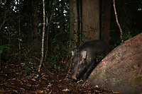 The wild boar (Sus scrofa), also known as the wild swine, Eurasian wild pig, or simply wild pig, is a suid native to much of Eurasia, North Africa, and the Greater Sunda Islands.