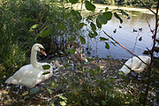 "Pair of swans and their cygnet. Hampstead Heath (locally known as ""the Heath"") is a large, ancient London park, covering 320 hectares (790 acres). This grassy public space is one of the highest points in London, running from Hampstead to Highgate. The Heath is rambling and hilly, embracing ponds, recent and ancient woodlands."
