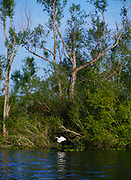 Great Egret flying among willows, Atchafalaya Basin, Louisiana.