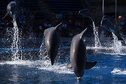 June 7, 2017 - Madrid, Spain - Several specimens of Common bottlenose dolphin (Tursiops truncatus truncatus) pictured during a show at Madrid Zoo and Aquarium. (Credit Image: © Jorge Sanz/Pacific Press via ZUMA Wire)
