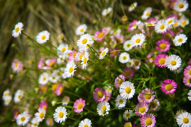 Roberta Walker of Sacramento, Calif. in Northern California planted a variety of drought-tolerant plants at her home.  One is the Santa Barbara daisy (Erigeron karvinskianus) a great border accent with plenty of color and attracts beneficial insects from bees, wasps and butterflies. The blooming season goes from late spring thru mid summer, with best results in full sun. Photo taken April 26, 2010.  Dale Kolke / The California Department of Water Resources, FOR EDITORIAL USE ONLY