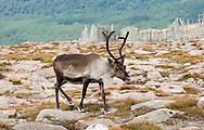Reindeer on Cairngorm Mountain. Cairngorms national park, Scotland © Rudolf Abraham