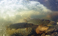 Pair of Northern Pike<br /> <br /> Paul Vecsei/ENGBRETSON UNDERWATER PHOTO