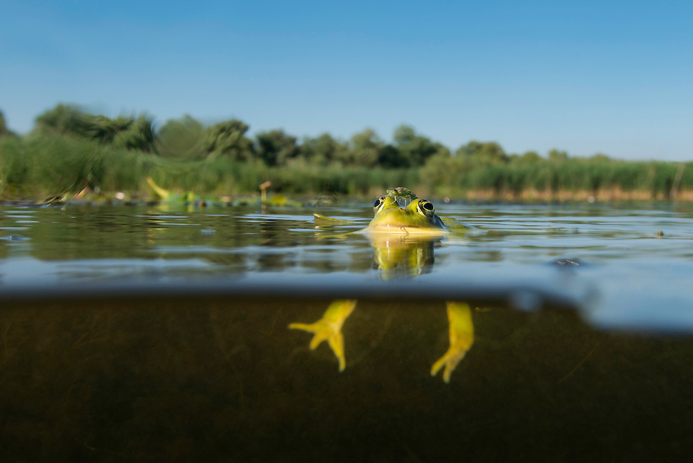 A damselfly just hatched and rest on the head of a pool frog (Pelophylax lessonae), Danube Delta, Romania.