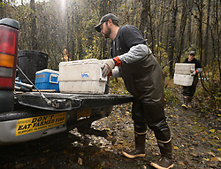 David Campbell (left), and Dylan Burbank fish technicians for the non-profit Northern Southeast Regional Aquaculture Association, Inc. (NSRAA), carry coolers of roe and milt from chum salmon captured on the man-made spawning channel of Herman Creek located near Haines, Alaska.  <br /> <br /> NSRAA built the channel to collect wild broodstock by harvesting spawning female and male salmon for their eggs and milt to artificially spawn wild chum salmon. The eggs are fertilized with milt and placed in stream-side incubation boxes on Herman Creek and the Klehini River. In 2014, 2.4 million eggs were seeded into these incubation boxes. The 2013 incubation box survival rate was 90%. Without the artificial spawning, natural survival is said to be only 10%.<br /> <br /> As the bumper sticker touts, Alaskan fisherman are proud that fish from Alaska are not farmed fish. At the incubation boxes the eggs will be fertilized with the milt and then placed in the incubation boxes. Over the winter the fertilized eggs will develop into fry. The incubation process is 100% natural. Fry are not fed. Once they are big enough, the fish leave the incubation boxes on their own.<br /> <br /> Based in Sitka, Alaska, NSRAA conducts salmon enhancement projects in northern southeast Alaska. It is funded through a salmon enhancement tax (of three percent) and cost-recovery income. NSRAA also produces sockeye, chinook, and coho salmon.<br /> <br /> Male chum salmon return to Herman Creek to spawn with female chum salmon during the fall chum salmon run. The chum salmon return to freshwater Herman Creek, tributary of the Klehini River after living three to five years in the saltwater ocean. Spawning only once, chum salmon die approximately two weeks after they spawn. <br /> <br /> Chilkat River and Klehini River chum salmon are the primary food source for one of the largest gatherings of bald eagles in the world. Each fall, bald eagles congregate in the Alaska Chilkat Bald Eagle Preserve.