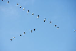Flock Of Birds In Formation