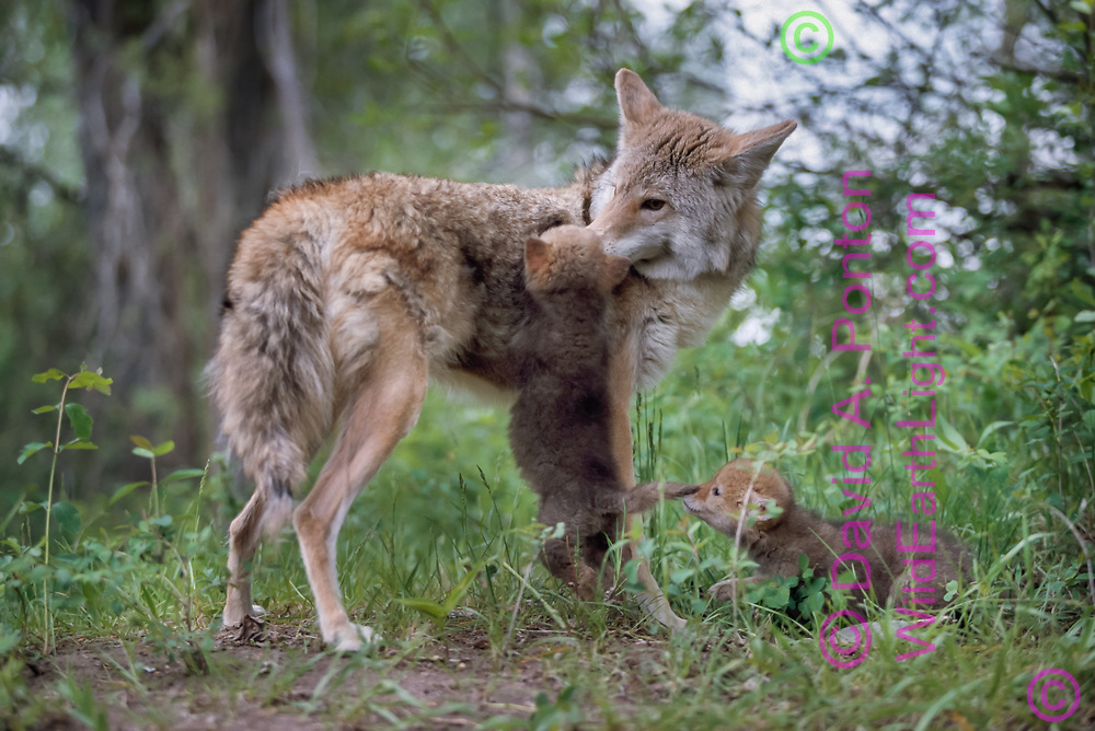 Coyote greets its small puppies [captive, controlled conditions] © David A. Ponton