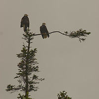 Bald eagles in tree near Sequim, Washington, on Olympic Peninsula.