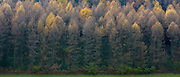 Larch trees in varying shades of colour in coniferous forest plantation for timber production in the Brecon Beacons, Wales, UK