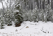 A coyote looks for food after an early snowfall in Yellowstone National Park