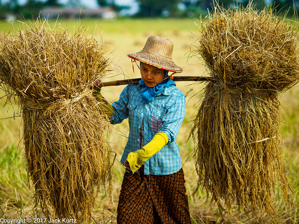 """21 NOVEMBER 2017 - MAUBIN, AYEYARWADY REGION, MYANMAR: Workers carry freshly harvested rice to the edge of the paddy in the Ayeyarwady  Delta. Myanmar is the world's sixth largest rice producer and more than half of Myanmar's arable land is used for rice cultivation. The Ayeyarwady Delta is the most important rice growing region and is sometimes called """"Myanmar's Granary."""" The UN Food and Agriculture Organization (FAO) is predicting that the 2017 harvest will increase over 2016 and that exports will surge to 1.8 million tonnes.   PHOTO BY JACK KURTZ"""