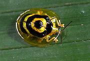 Tortoise Beetle, Chrysomelidae sp. Hacienda Baru, Costa Rica, tropical jungle, South America, golden and black, clear shell.Central America....
