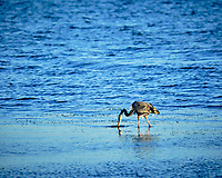 Great Blue Heron at Fort De Soto park. Image taken with a Fuji X-H1 camera and 200 mm f/2 OIS lens + 1.4x teleconverter (ISO 200, 280 mm, f/4, 1/1100 sec).