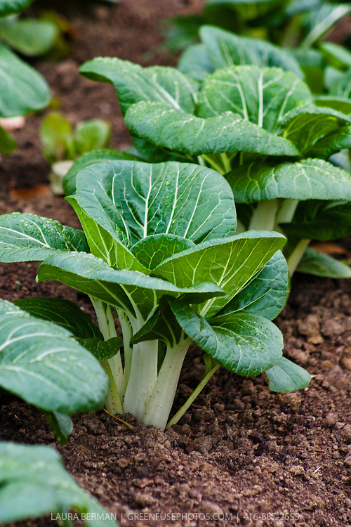 Bok Choy in the autumn garden sprinkled with a light covering of raindrops.