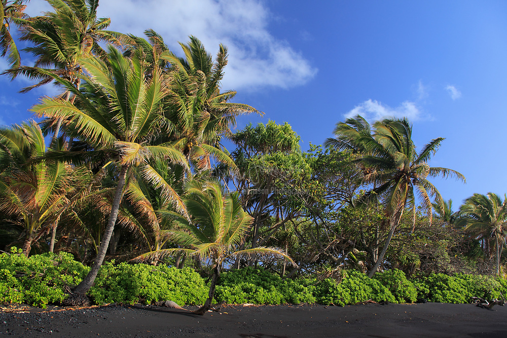 Black sand beach and palm trees in Hana Bay on the northeast coast of Maui, in the town of Hana.