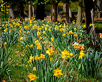 Daffodills in bloom. Image taken with a Fuji X-T2 camera and 100-400 mm OIS lens (ISO 200, 100 mm, f/6.4, 1/1000 sec).