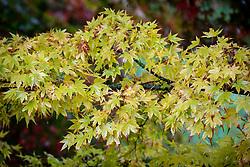 Acer palmatum 'Sango-kaku' AGM syn. Acer palmatum 'Senkaki' - Coral-bark maple