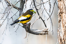 Evening Grosbeak,Evening Grosbeaks are social and somewhat nomadic; flocks may wander widely in response to changing food supplies. These seasonal movements, or irruptions, occur during the fall and winter.