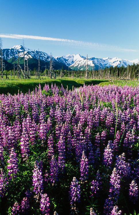 Alaska. Girdwood. Field of Nootka Lupine (Lupinus nootkatensis) and the Chugach Mts.