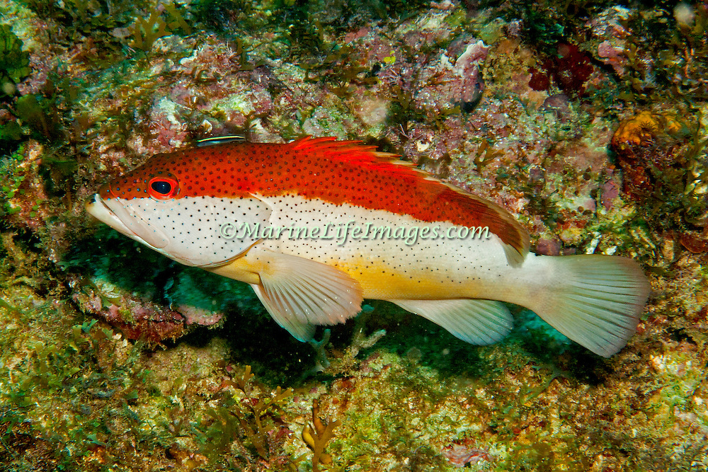Coney, bicolor phase, inhabit reefs in Tropical West Atlantic; picture taken Panama near San Blas Islands.